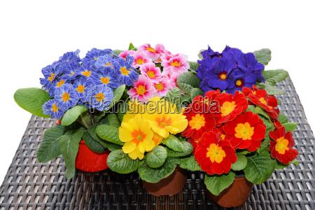 colorful primroses in spring