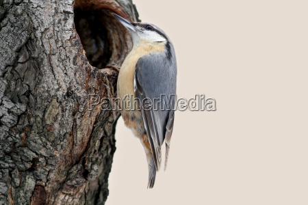 miljo fugl dyr fugle songbird sangfugle