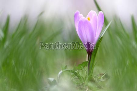 miljo plante blomst plant blomster krokus