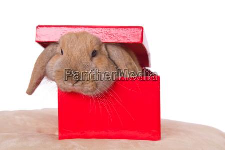 praesentere dyr husdyr kaeledyr brun kanin
