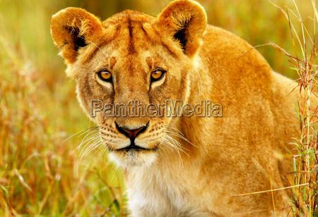 dyr afrika kenya wildlife afrikaner safari