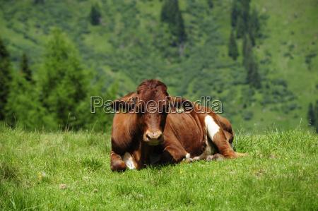 hochalmservicedalmpasturecowcowsbeeffarm animalfarm animalsfarm animalsanimalsanimal