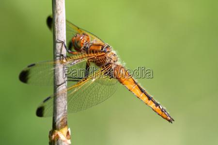 miljo dyr guldsmed libelle guldsmede reed