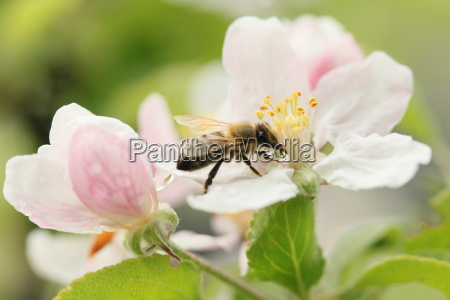 bee pa apple blossom