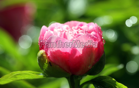 blomst plant plante paeon blomstre blomstrende