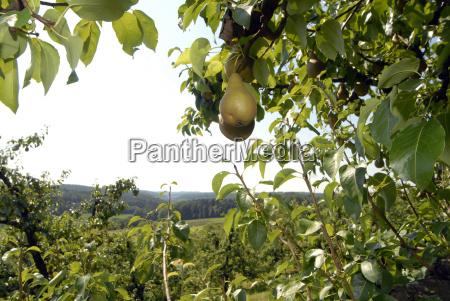 trae frugt traefrugt paere paerer frugtavl