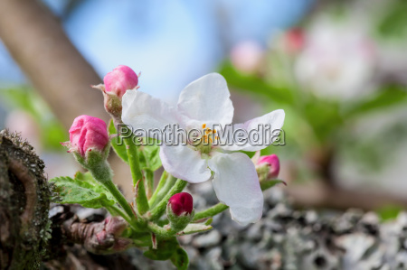 AEble blomst