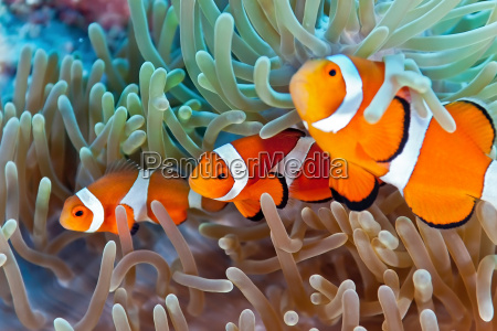 fisk undersoisk wildlife tropiske tropical anemone