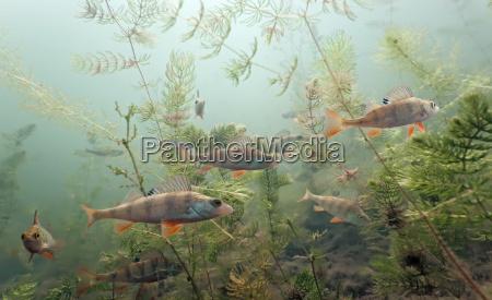 fisk undersoisk wildlife ferskvand so vand