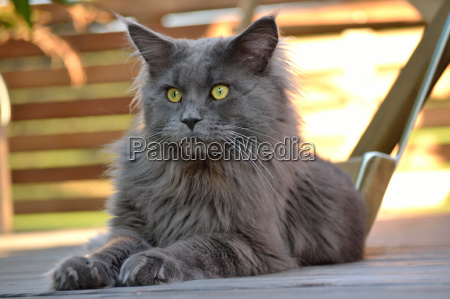a maine coon domestic cat