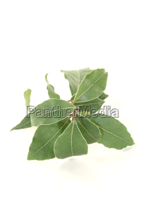 fresh green laurel branch
