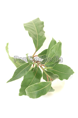 laurel branch with leaves
