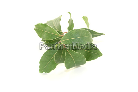 fresh laurel branch with leaves