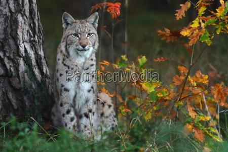 den, lynx, - 10165601