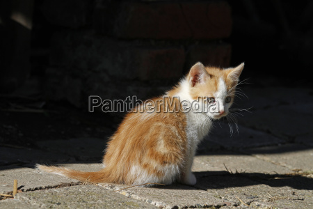 red and white kitten
