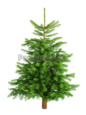 poet, lille, grantræ, på, ren, hvid - 10318075