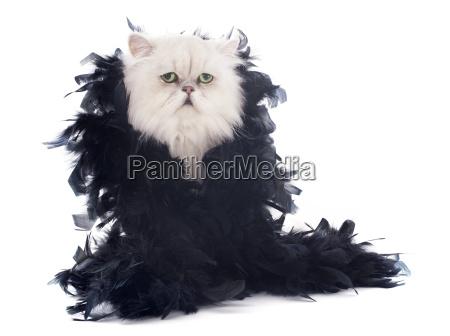 hvid, perser, kat, og, boa - 10336451