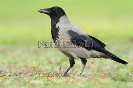 tagen krage corvus koronar cornix dyreliv
