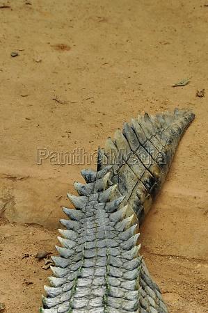 krokodille hale baggrund