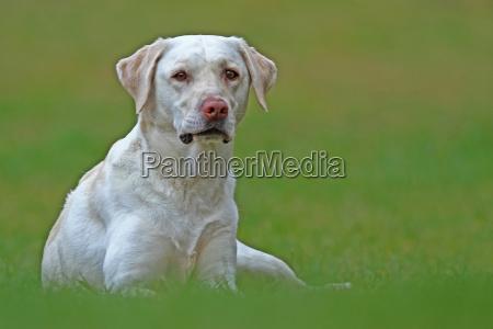 dyr husdyr kaeledyr hund hunde labrador