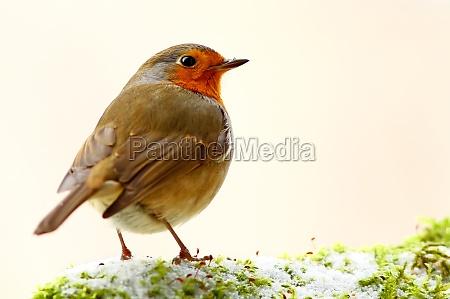 vinter dyr fugl fugle robin