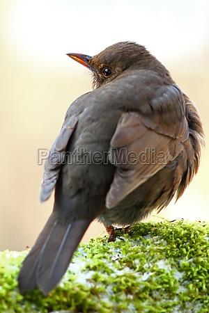 fugl dyr fugle solsort songbird sangfugle