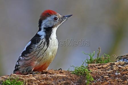 farvet woodpecker dendrocopos major