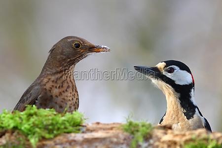the blackbird turdus merula feat flagspaette
