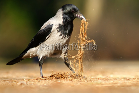 tagen krage corvus koronar cornix