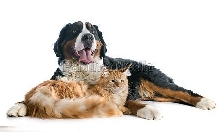 bernese moutain hund og kat