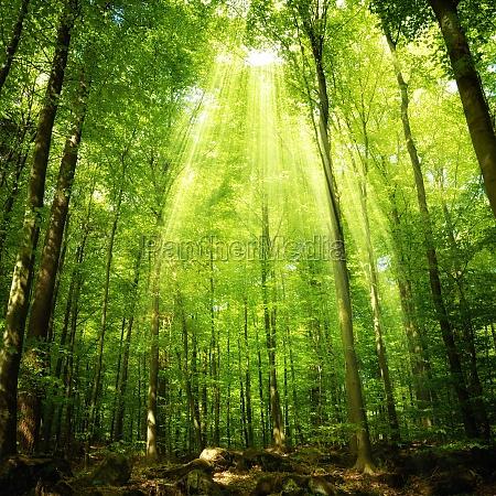 sunbeams in the beech forest