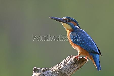miljo dyr fugl fugle kingfisher natur