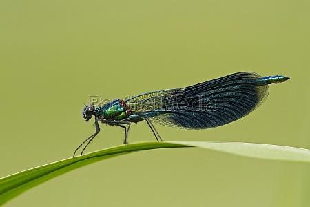 blad miljo blade guldsmed libelle guldsmede