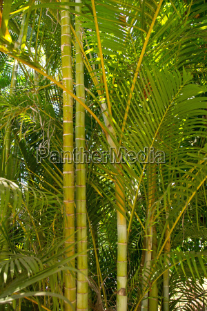 trae afrika busk bambus ingen figur