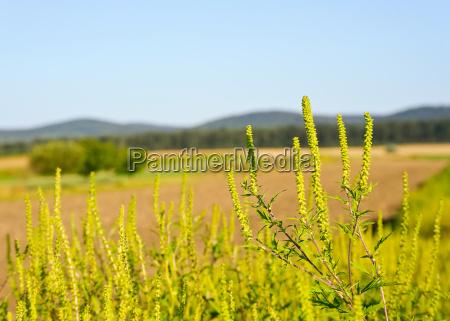 plante tilplante implanteret allergi ambrosia