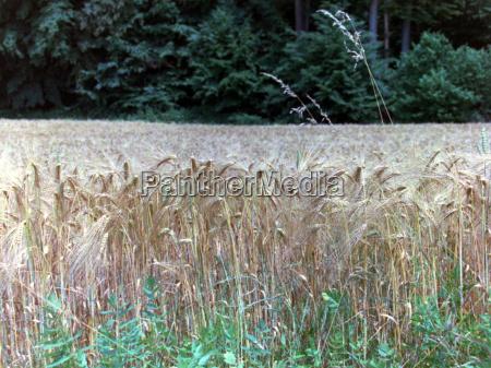 ferall hvede hvedemark korn mad mad