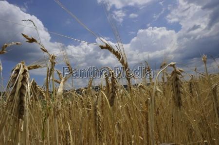 aehre hvede hvede felt korn mad