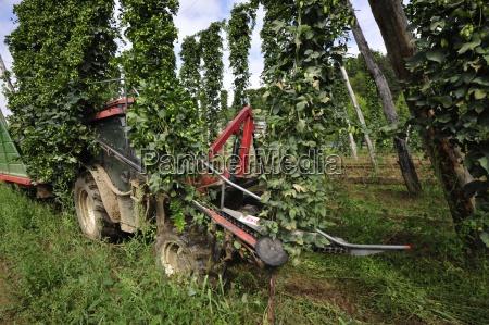 frucht hopfenfrucht hopfen pflanze pflanzen ackerbau