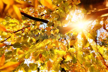 autumn sun shines through beech leaves