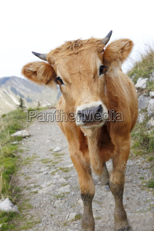 brun kalv