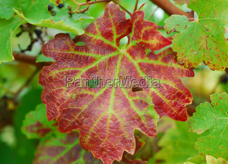 brown green grape vine plant leaves