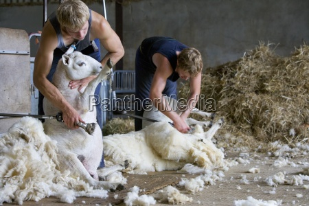 young farmers shearing sheep for wool