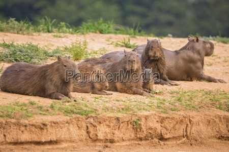 farve dyr pattedyr gnaver ligge liggende