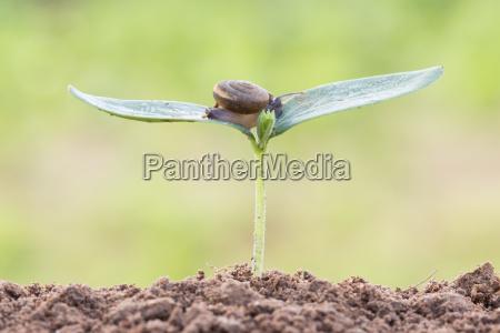 naerbillede sneglen pa fro unge plante