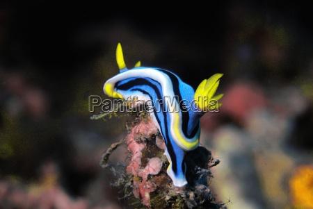 bla rejse snegle dive dykning filippinerne