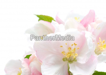 aeble blomstre closeup studio isoleret