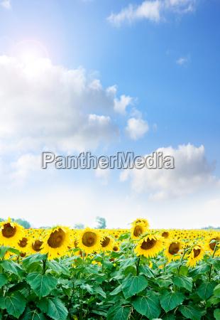 gule solsikker