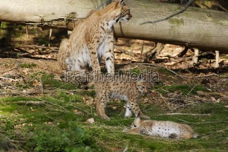 profil pattedyr nysgerrig nysgerrige katte fra