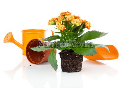 kalanchoe blomst i en gron vanding