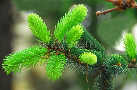 green spruce plant leaves